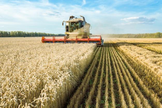 필드에 익은 황금 밀을 수확하는 수확기를 결합