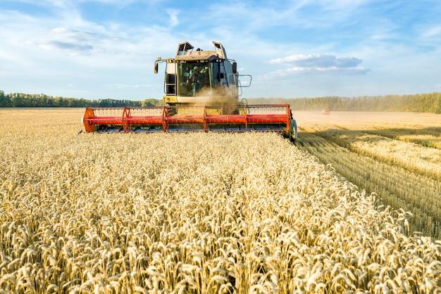 Зерноуборочный комбайн, уборка спелой золотой пшеницы на поле