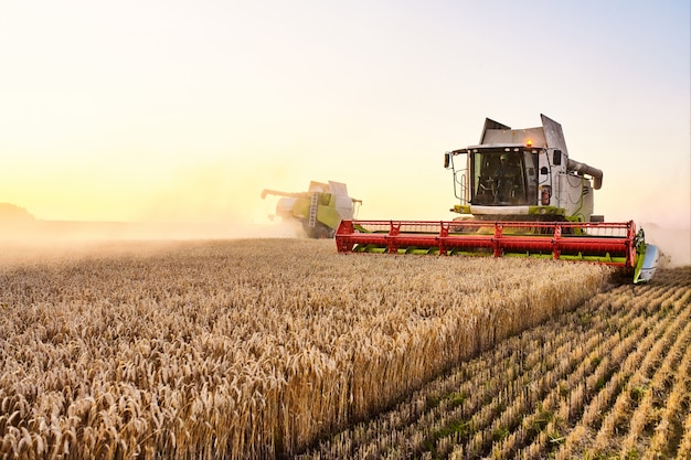 Combine harvester harvests ripe wheat. ripe ears of gold field on the sunset cloudy orange sky background.