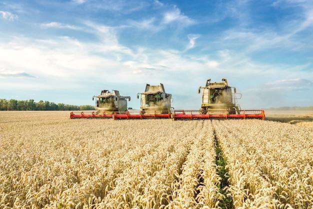 Комбайн собирает урожай спелой пшеницы.