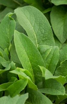 Лекарственное растение окопник с лечебными свойствами зеленые листья растения