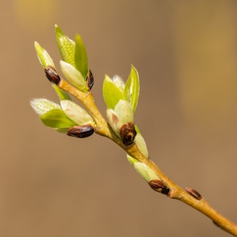 Coming catkins on pussy willow in spring, detail