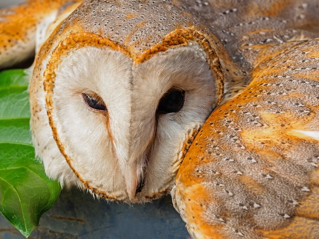 Common barn sleeping owl (tyto alba head) head close up image.