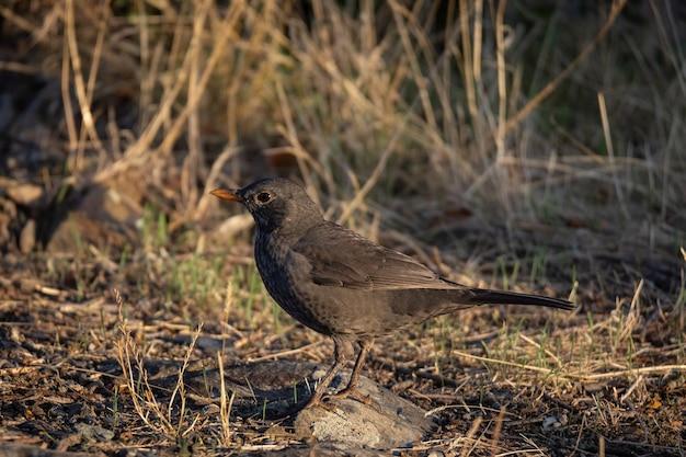 Обыкновенный дрозд. птица в естественной среде обитания.