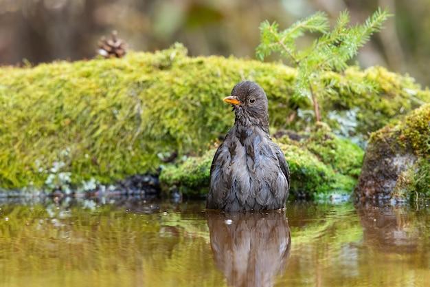 Самка черного дрозда купается в воде в летней природе