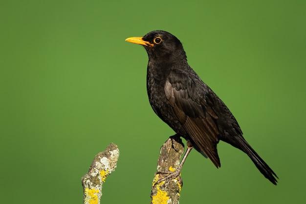 Common blackbird looking on branch in summer nature