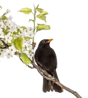 Обыкновенный дрозд сидел на цветущей ветке, изолированной на белом