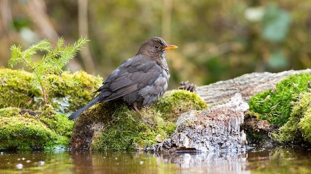 Common blackbird sitting on mossed rock in aquatic nature