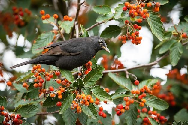 秋の自然の中でナナカマドに座っている一般的なクロウタドリ
