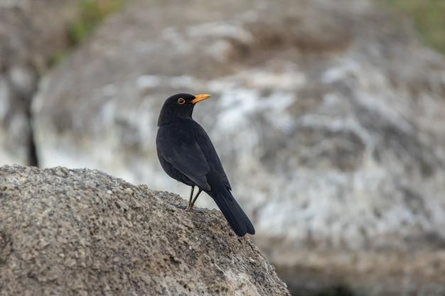Merlo comune in piedi su una roccia