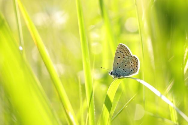 日の出の牧草地のイカルスヒメシミ