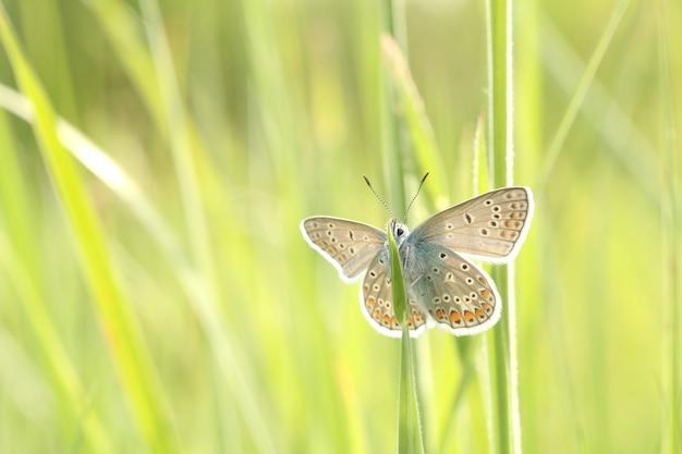 Обыкновенная синяя бабочка на весеннем лугу в лучах солнца