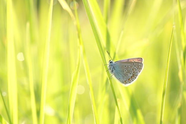 日差しの中で春の牧草地にいる一般的な青い蝶