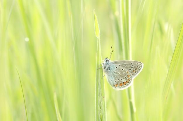 日差しの中で春の牧草地にイカルスヒメシミ