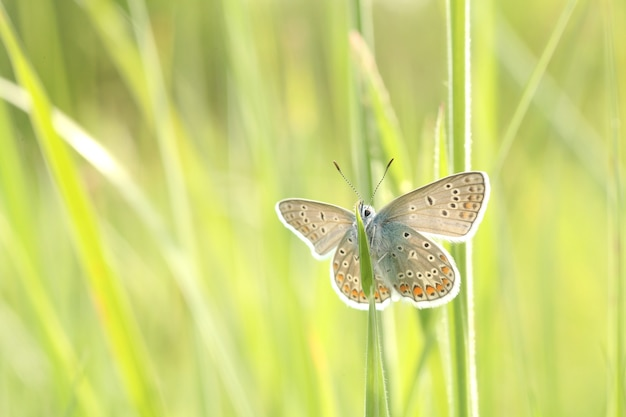Common blue butterfly on a spring meadow in the sunshine