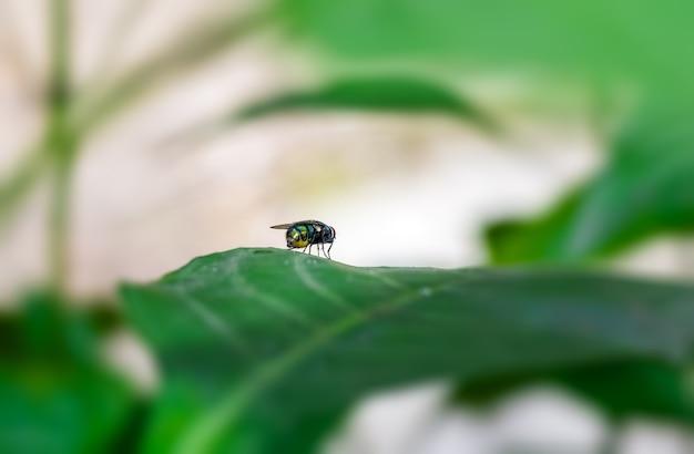 녹색 잎에 앉아 일반적인 병 파리 곤충