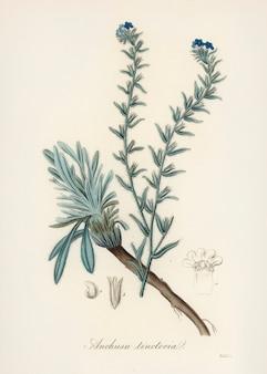 Illustrazione comune di bugloss (anchusa tinctoria) dalla botanica medica (1836)