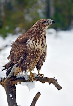 Common buzzard (buteo buteo) sitting on a branch in winter.
