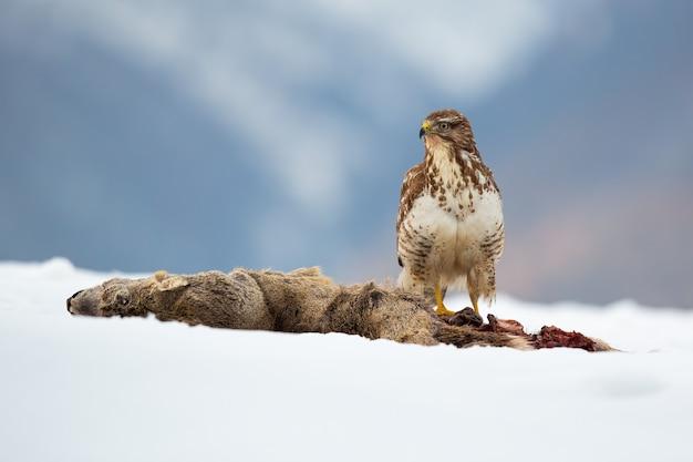 Common buzzard, buteo buteo, sitting on snowy field in wintertime nature.