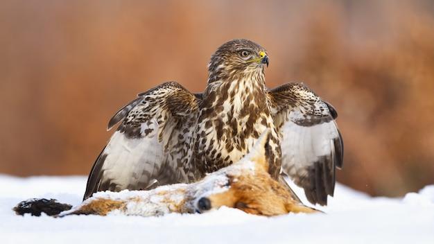 冬の雪原で獲物を守るノスリ