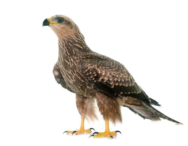 Common buzzard isolated