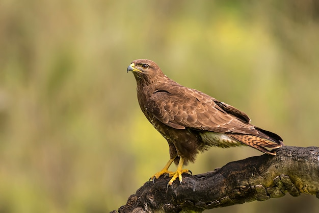 Common buzzard perched on a branch