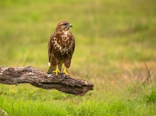 Common buzzard perched on a log with unfocused green scenery