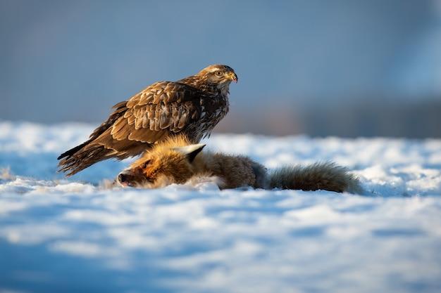 冬の自然の中で雪の上に座っている一般的なノスリ