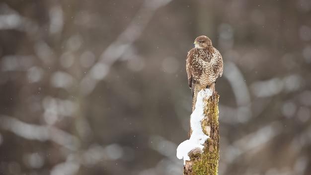 Common buzzard sitting on stump in wintertime nature