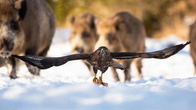 爪に肉を入れて雪から離陸するノスリ。