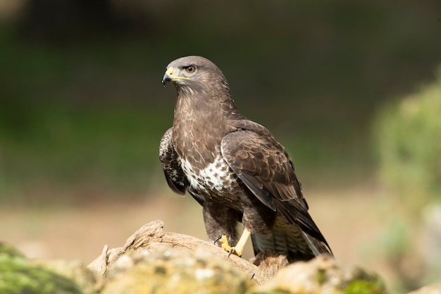 Common buzzard with the first lights of dawn
