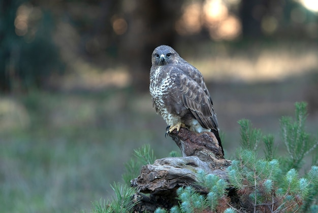 Common buzzard with the last afternoon lights of a winter's day in a pine forest