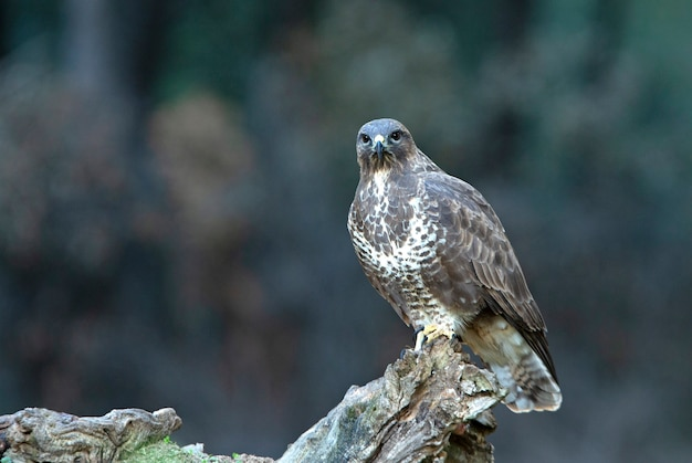Common buzzard with the last evening lights in a pine forest
