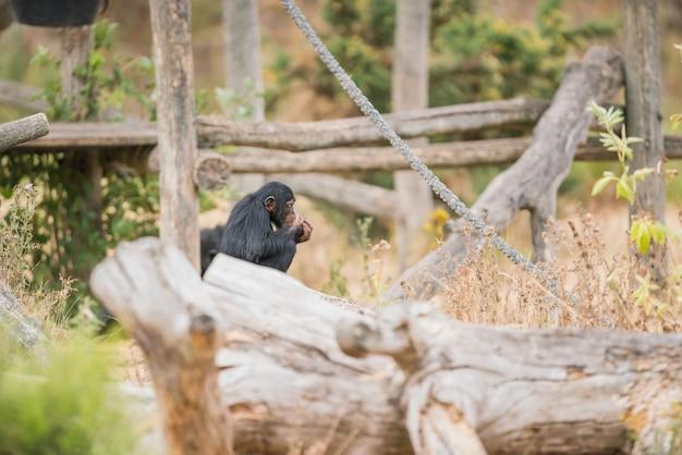 Common chimpanzee with ice