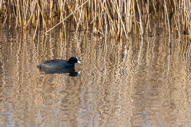 Common coot at dawn in the marshes of the ampurdan.