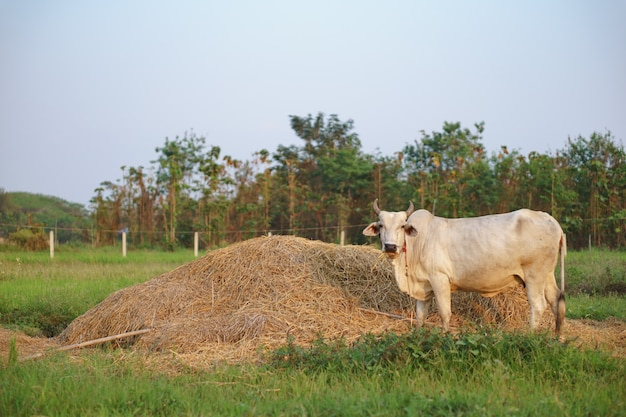 Common cow eating rice straw