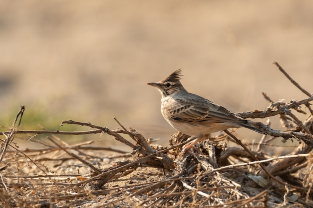 The common crested lark sits on dry branches. galerida cristata.