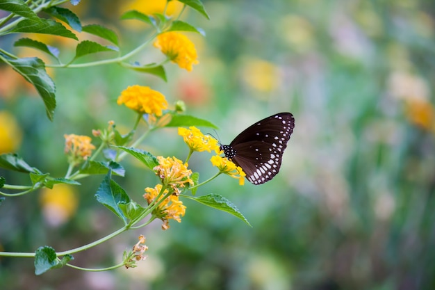 Common crow butterfly on the flower