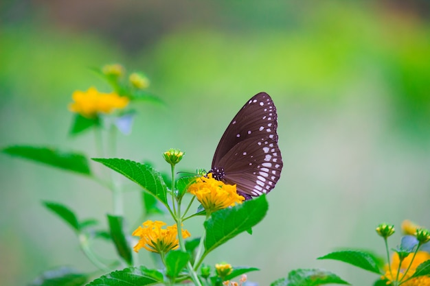 The common crow butterfly