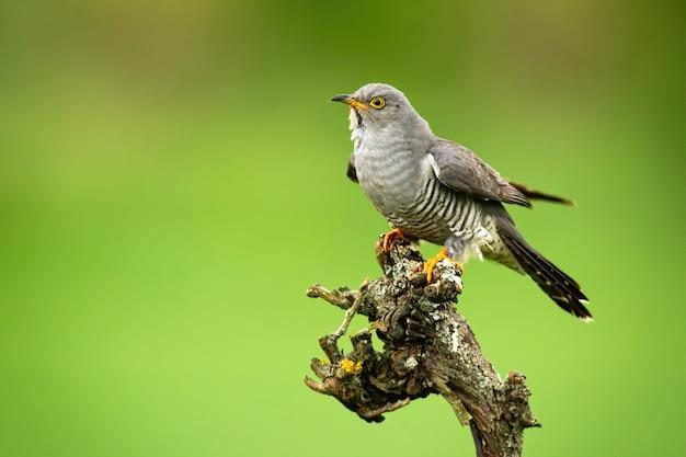 Common cuckoo sitting on tree in summer