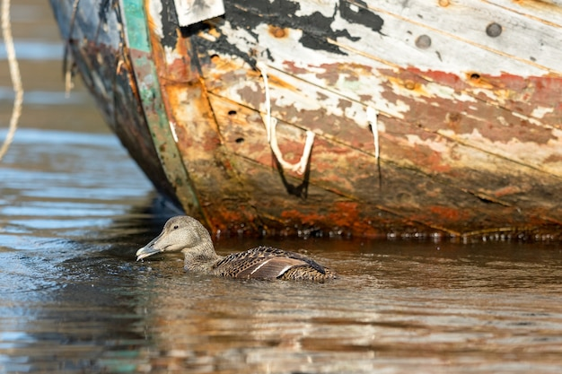 Обыкновенная гага показывает язык, плавая в морской воде