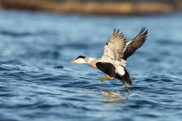 Обыкновенный самец eider взлетает из синего океана зимой