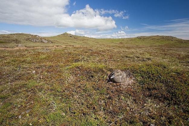 Common eider somateria mollissima brooding on its eggs
