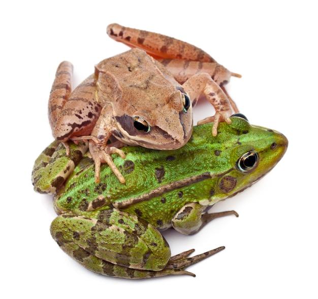 Common european frog or edible frog (rana kl. esculenta) on the back of a moor frog (rana arvalis)