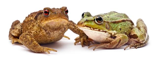 Common european frog or edible frog (rana kl. esculenta) next to a common toad or european toad (bufo bufo)