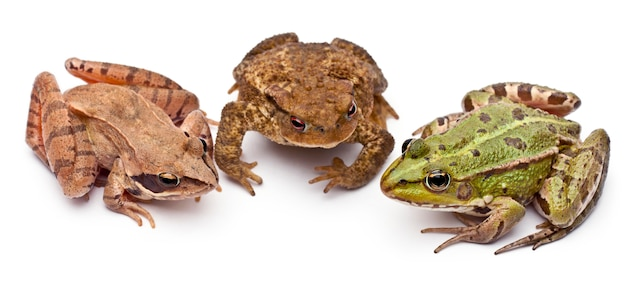 Common european frog or edible frog (rana kl. esculenta) next to a common toads or european toad (bufo bufo) and a moor frog - rana arvalis