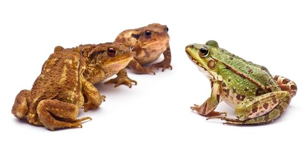 Common european frog or edible frog (rana kl. esculenta) facing three common toads or european toad (bufo bufo)