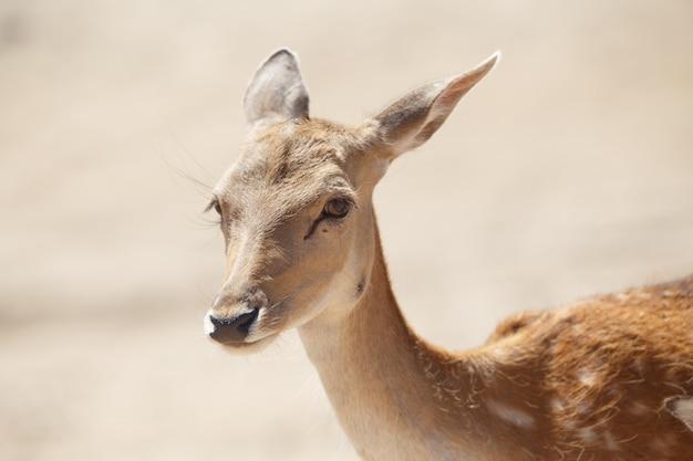 Common female deer or cervus elaphus in a wild sand area