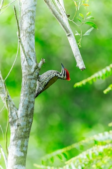 Common flamed-back woodpecker ( dinopium javanense )