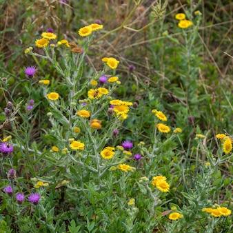 서섹스(sussex)의 아딩리 저수지(ardingly reservoir) 근처에서 꽃이 피는 일반적인 벼룩(pulicaria dysenterica)과 엉겅퀴